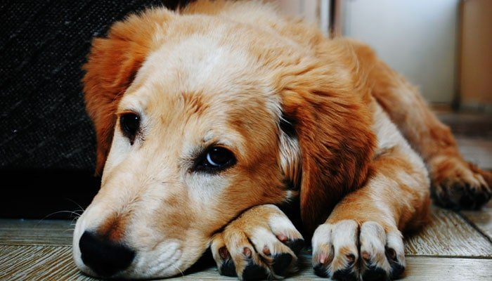 Tylenol For Dogs