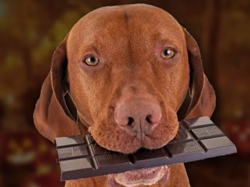 Can Dogs Eat Chocolate?