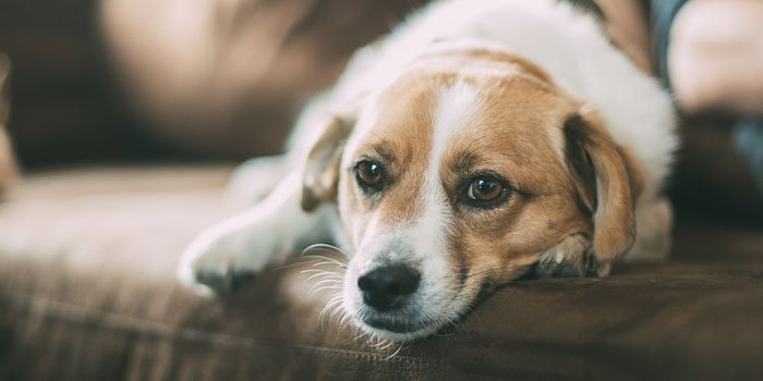 Can Dogs Get Strep From Humans