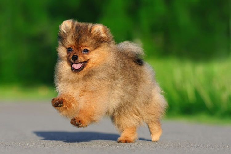 how much pomeranian puppies cost how much is a pomeranian goldenacresdogs com 6947