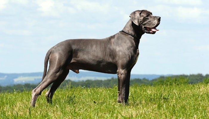 Food Cost - How Much Do Great Danes Eat