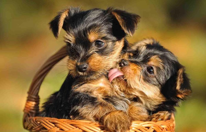 Best Dog Food for Yorkie Puppies