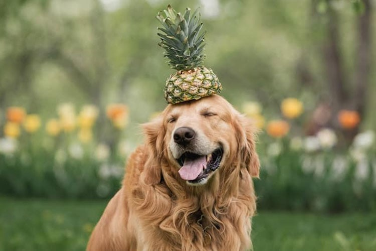Dogs Can Eat Pineapple
