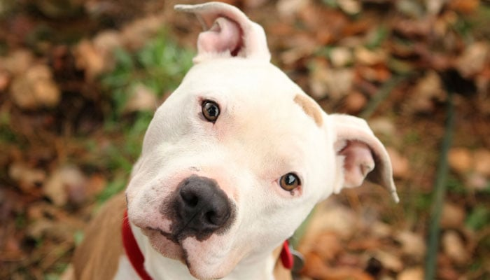 What Is The Best Dog Food For Pitbulls