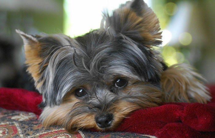 What Makes A Good Dog Food for Yorkies
