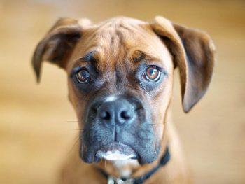 Best Dog Food For Boxers 2018