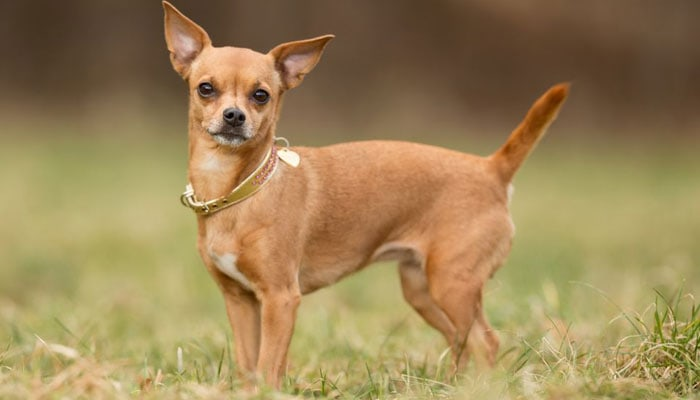 Best Dog Food For Chihuahua 2019 Dog Food Genius