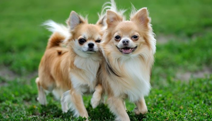 Chihuahua Dog Food - What To Feed Teacup and Small Dog Breeds