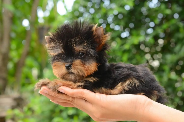 Wet Puppy Food For Yorkies