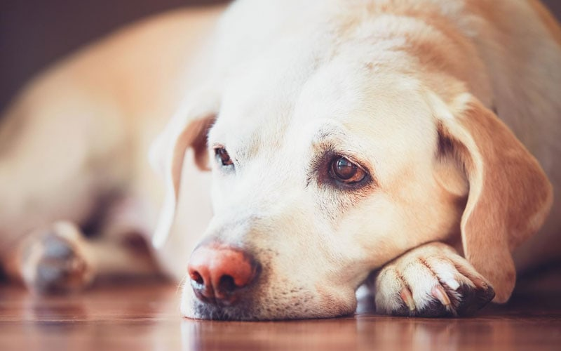 Dramamine For Dogs Is Safe
