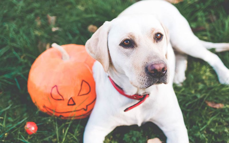 Can Dogs Have Pumpkin