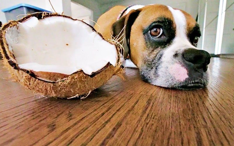Coconut For Dogs