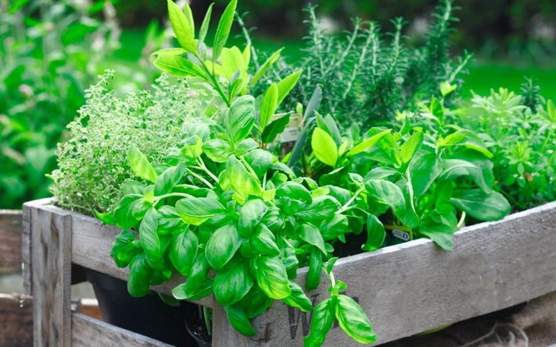 Is Oregano Safe For Dogs