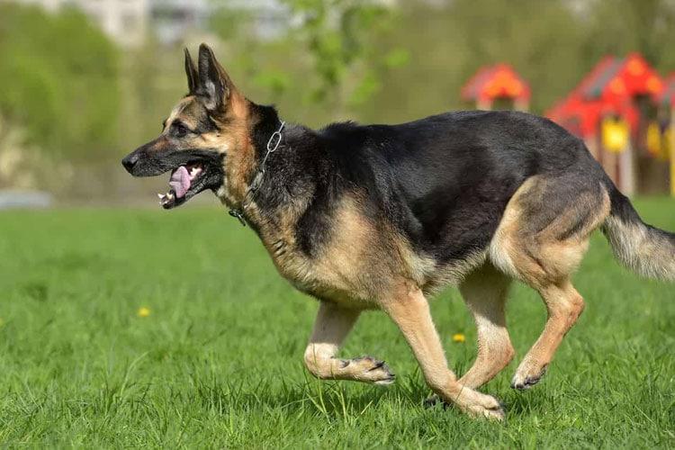 German Shepherd Life Expectancy