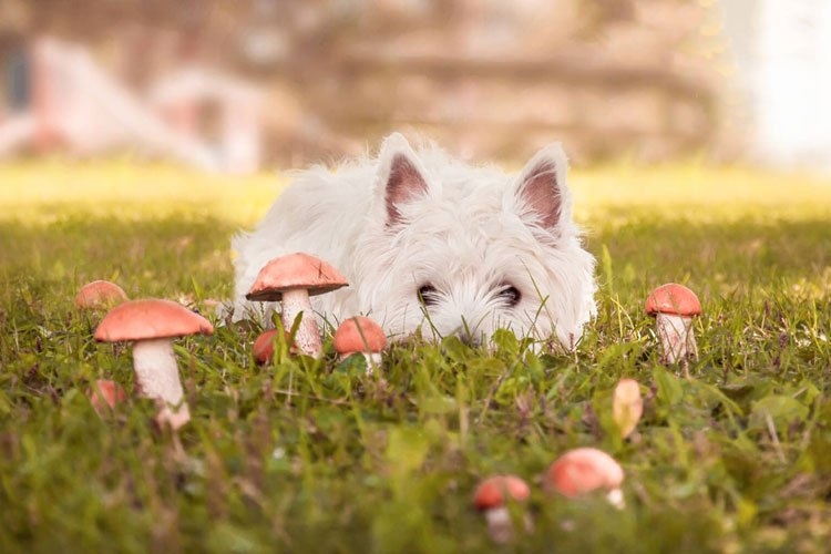Are Mushrooms Good or Bad For Dogs To Eat